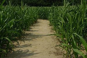 kukurydziany-5